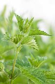 picture of sting  - beautiful green leaves of wild Stinging Nettle - JPG