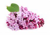Lilac Flower Bunch.