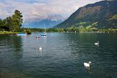 Swans on Zeller Lake, Zell am See, Austria