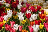 Carpet of tulips of different colors close-up