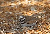 pic of killdeer  - Killdeer Charadrius vociferus laying on its nest with two eggs - JPG