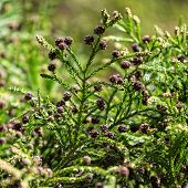 Green Prickly Branches With Bumps Of Coniferous Tree