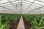 Fresh Pineapples Growing Into Glasshouse