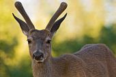 Blacktail Stag