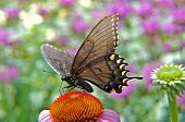 black butterfly on daisy