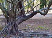 Stilt Root