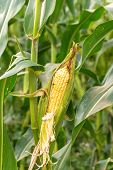Corn Field In Agricultural Rural Landscape.