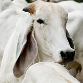 The Long Ears Of Cattle Breeds Thailand On Field