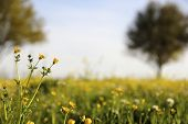 stock photo of cade  - Wild flowers in field in Cade - JPG