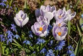 Crocuses And Bluebell