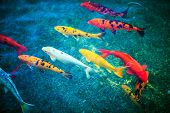 foto of koi fish  - Colorful Koi Fishes in the Pond Closeup - JPG