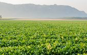 Chinese Broccoli Plantation