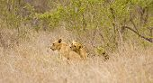 young lions playing together in the bush, South Africa, Kruger national park