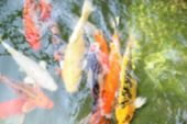 Blurry Image Of Carp In The Pond