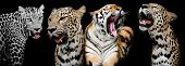 Collection Of Portraits Of Tigers And Leopard.(and You Could Find More Animals In My Portfolio.)