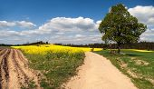 Rural Road Between Fields, Rapeseed Field And Lime Tree