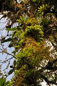 pic of epiphyte  - Epiphytes on old tree near Santa Elena in Costa Rica - JPG