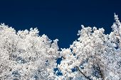 White Trees And Dark Blue Sky