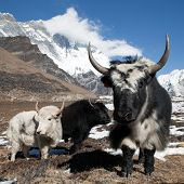 picture of yaks  - Yaks on the way to Everest base camp and mount Lhotse  - JPG