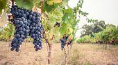 Pinor Noir grapes, vineyard scene