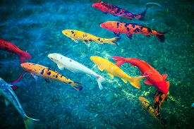stock photo of koi fish  - Colorful Koi Fishes in the Pond Closeup - JPG