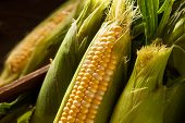 pic of corn stalk  - Raw Organic Yellow Seet Corn Ready to Cook - JPG