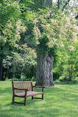 pic of locusts  - An empty wooden bench situated near a mature black locust tree in full bloom - JPG