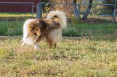 picture of collie  - Dog breed collie on areas for walking studies to give stick for her master - JPG