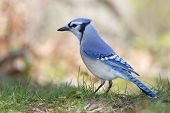 picture of blue jay  - Blue Jay  - JPG