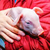 stock photo of piglet  - Farmer holding on hands young piglet of pietrain breed - JPG