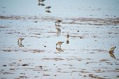 picture of shoreline  - A flock of Sanderlings feeding on  - JPG