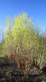 image of ashes  - Burned grass black ash on the ground and willow shrub - JPG