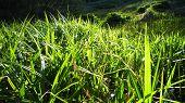 picture of marsh grass  - Fresh green leaves of spring grass sunset - JPG