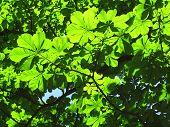 stock photo of enlightenment  - green chestnut tree leaves enlightened with the sun - JPG