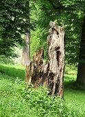 image of rotten  - rotten trunk of a tree in the green forest - JPG