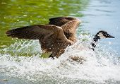 stock photo of canada goose  - One Canada Goose landing in water with raised wings moving right causing big splash and waves against green water - JPG