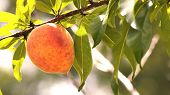 pic of harvest  - Letterbox image of a peach on a peach tree - JPG