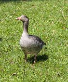 picture of pecker  - ducks enjoy the beautiful green grass in the english garden - JPG