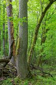 picture of ashes  - Old ash tree in springtime deciduous stand of Bialowieza ForestPolandEurope - JPG