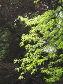 stock photo of enlightenment  - branches of acacia enlighten with the sun and dark background - JPG