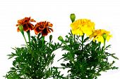 pic of marigold  - Marigold flower on a white background Isilated - JPG