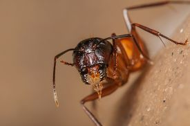 pic of mandible  - Front View of a Red Ant Portrait with Large Mandibles - JPG