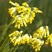 image of cowslip  - Close - JPG