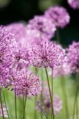 Close up of the flowers of some Chives
