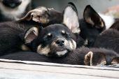The Sleeping Puppy.