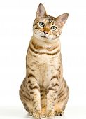 Cute Bengal Kitten Looks Pensively At Camera