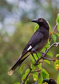 Pied Currawong perched in tree