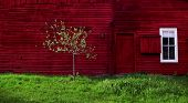 foto of red barn  - a young apple tree leafing out in spring in front of a large red barn with a white framed window above a carpet of spring green grass - JPG