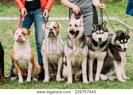 poster of Two American Bulldog Dog, Alsatian Wolf Dog Or German Shepherd Dog And Two Husky Dog Sitting Togethe