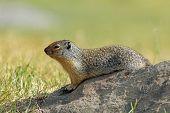 Columbian Ground Squirrel (Spermophilus columbianus) - Banff National Park, Canada